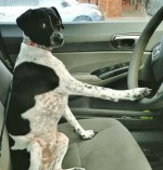Dog on lap while driving: Unsafe and illegal